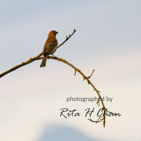 house finch, Iona